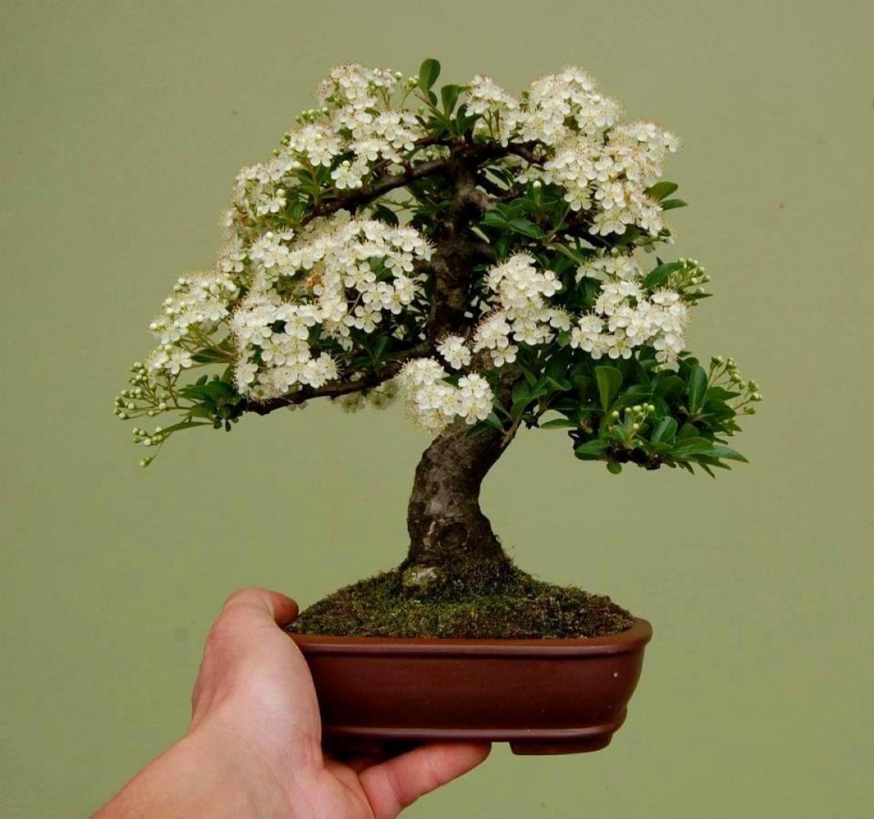 inspirasi bonsai mini. Black Bedroom Furniture Sets. Home Design Ideas