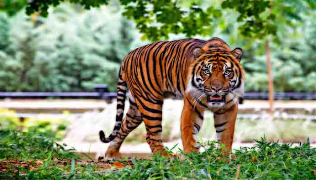 Essay on Tiger for School Students