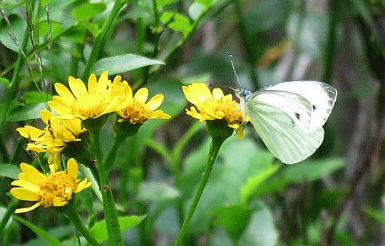 Bielinek bliźniak (Pieris mannii).