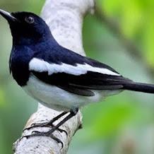 Cara Merawat Kondisi Burung Kacer Supaya Tampil Maksimal