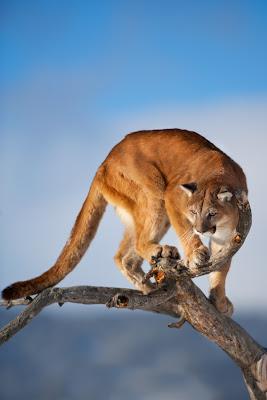Imágenes de Grandes Felinos: Puma