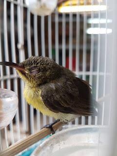 tanda kolibri nyilet