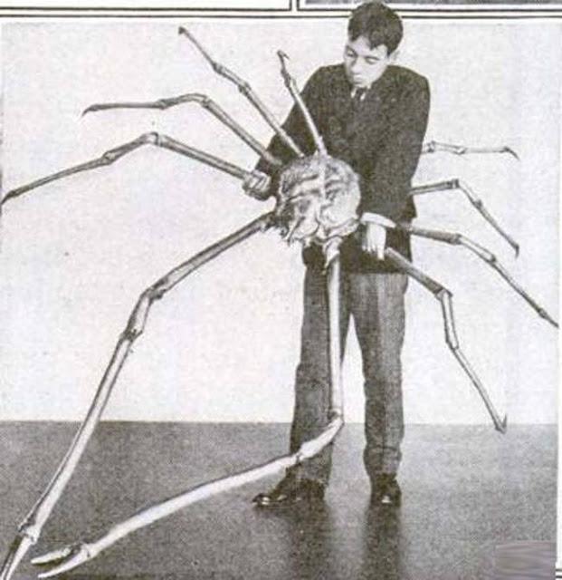Japanese Spider Crabe