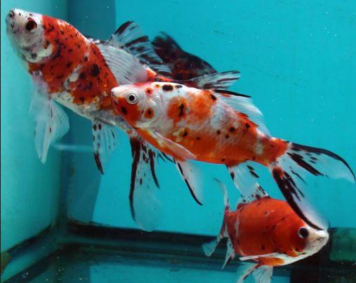 Jenis Ikan Komet Shubukin Merah - Red Shubunkin