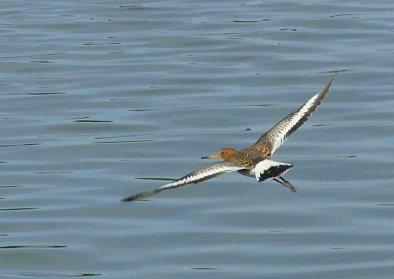 Latest Black-tailed Godwit