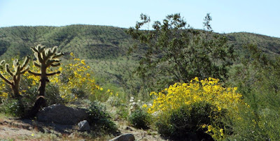 Anza Borrego Desert Bloom