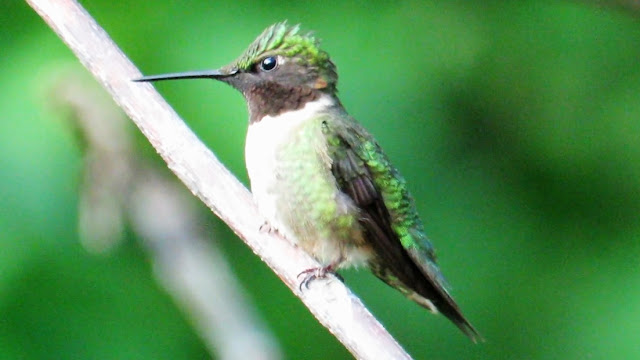 Ruby Throated Hummingbird Male