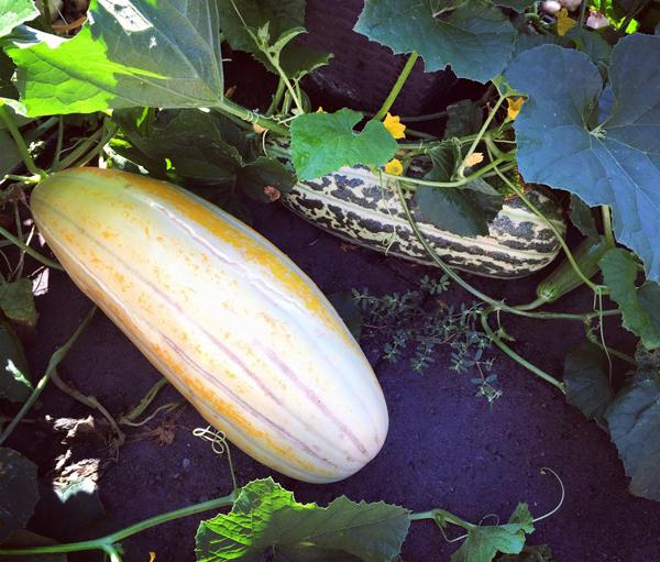 Cách trồng Dưa gang và chăm bón dưa gang