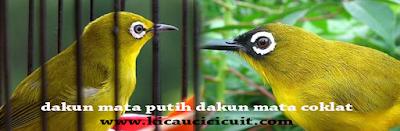 dada kunign maput vs dada kuning macok