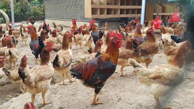 ayam kampung mardi