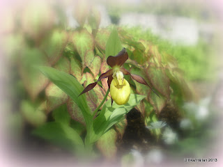 Guckusko Cypripedium calceolus,