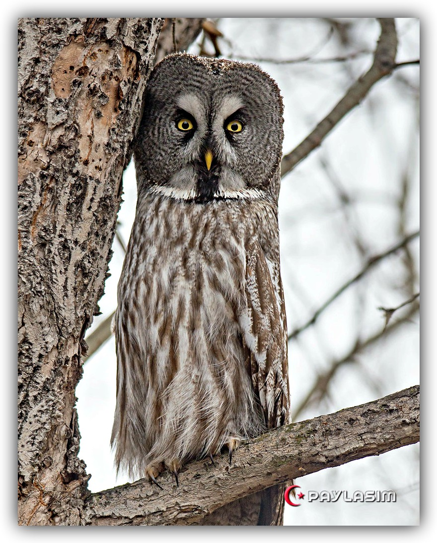 great gray owl facts - 632×800