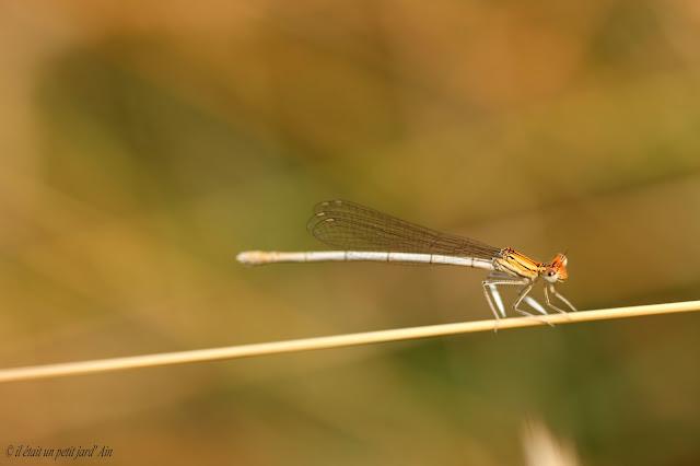 petite libellule blanche