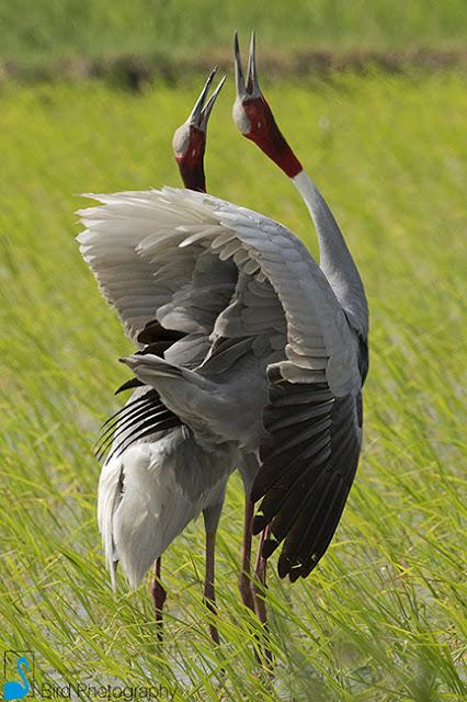 Sarus Crane (Grus antigone) - Yash Kothiala