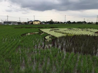 こしがや田んぼアート2015食戟のソーマ(6/30の様子)