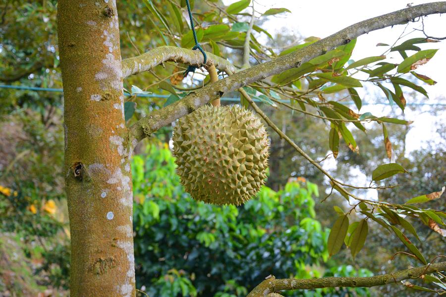 ko samui tajlandia duriany