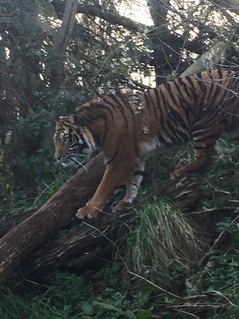 South Lakes Safari Zoo tiger