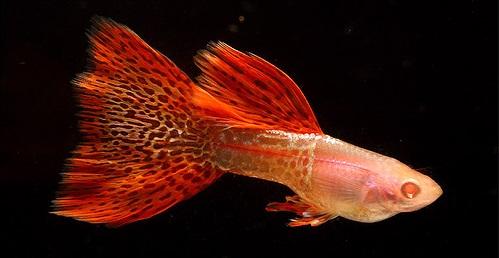 Ikan Guppy Redlace Snakeskin - Cara budidaya Ikan