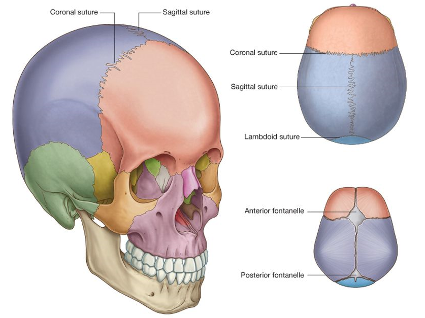 in the fetus and newborn, large membranous and unossified gaps  (fontanelles) between the bones of the skull, particularly between the  large flat bones that