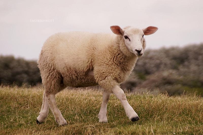 Schaf Föhr Deich | Wattwanderung nach Amrum | Tasteboykott