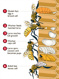 Aboutbees Growthstages on Honey Bee Life Cycle Chart