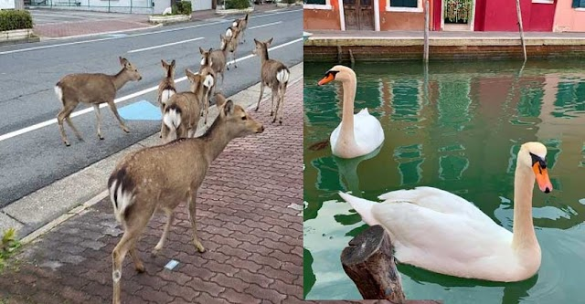 In Japan Animals are in streets during coronavirus quarantine; The fish are visible, The Deers and the swans returned