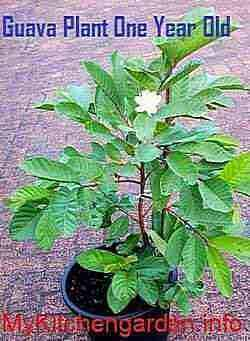 Guava Plant One Year Old producing Fruit