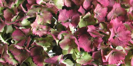 antique hydrangea for flower design