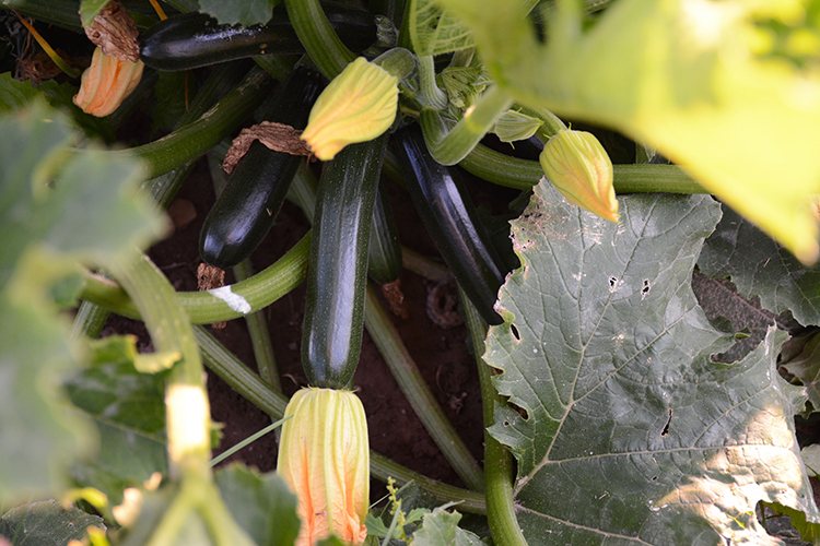 Gardening; Zucchini | My Darling Days