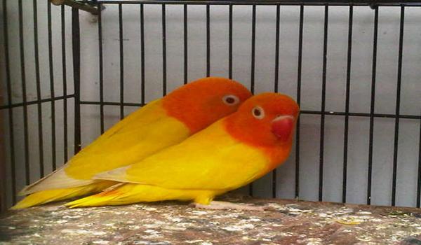 mengatasi lovebird diare