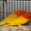 Penyebab Dan Cara Mengatasi Burung Lovebird Diare