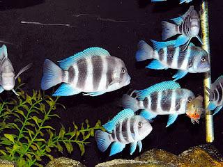 ikan-frontosa-cichlid