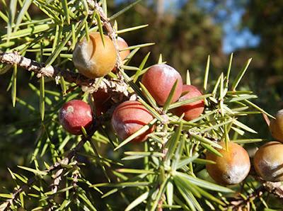 Frutos de enebro de miera (Juniperus oxycedrus)