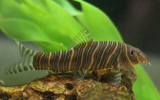 Ikan Hias Botia (botia macracantha)