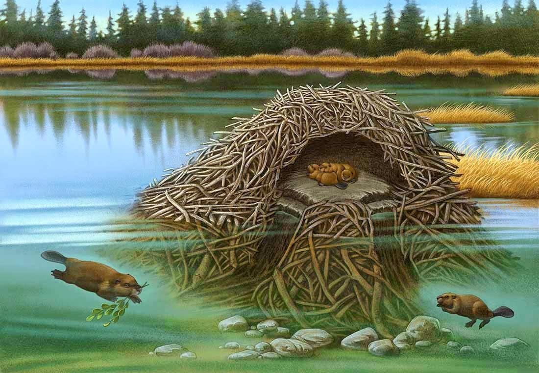 beaver lodge diagram photo 3 [ 1100 x 760 Pixel ]