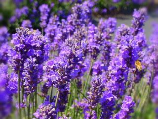 cara-perbanyakan-bunga-lavender.jpg