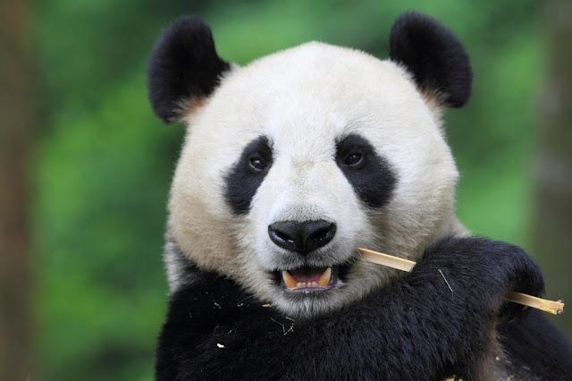 Beberapa Fakta Tentang Panda