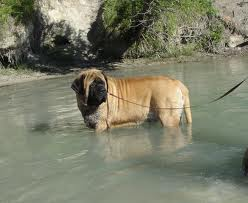 Breeds Dog: The Miscellaneous of English Mastiff Dog