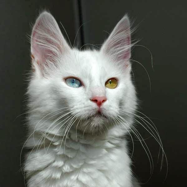 keunikan kucing, fakta kucing, kucing sakit makan coklat