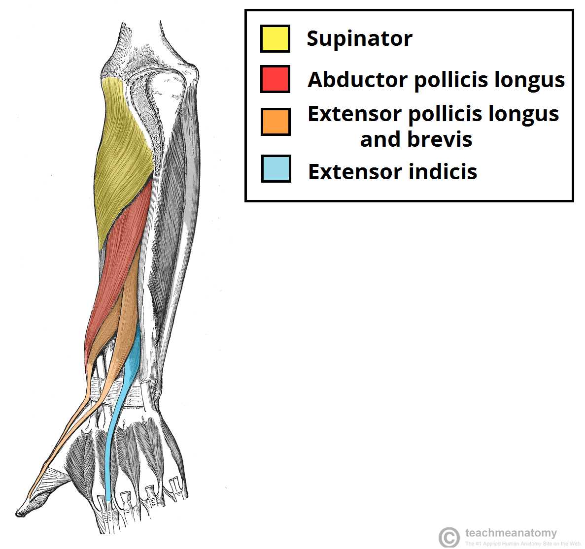 Anatomy forearm muscles