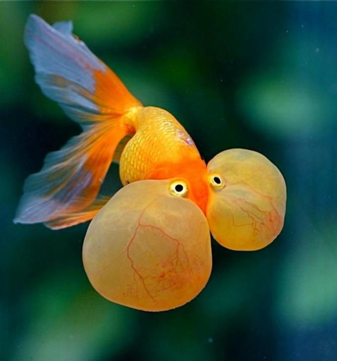 budidaya ikan mas koki mutiara