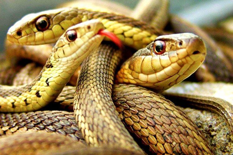 Manitoba'daki Nurses bölgesinde çok sayıda yılan türü bulunmaktadır, üstelik yılanların çoğu zehirlidir.
