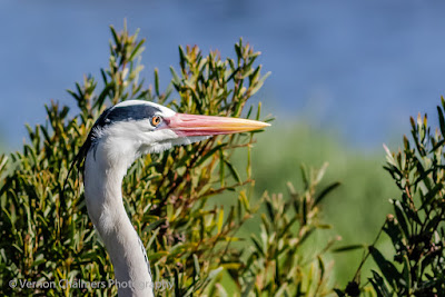 Grey Heron in the Table Bay Nature Reserve - Diep River / Woodbridge Island