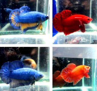 Gambar perbedaan jenis ikan cupang jantan dan betina