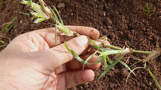 كيفية زراعة النجيل