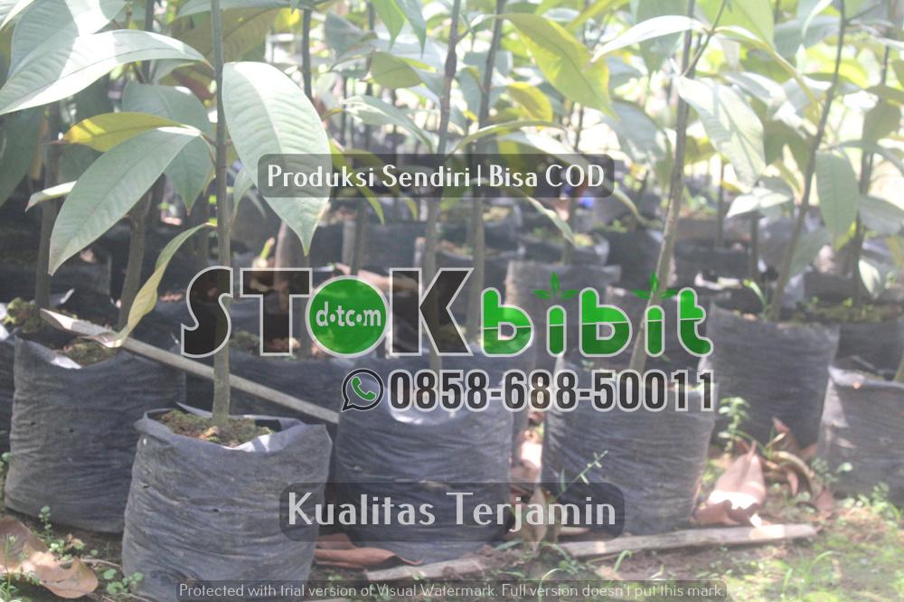 Keunggulan Bibit Durian Kaki Ganda       Lengkap     Grosir