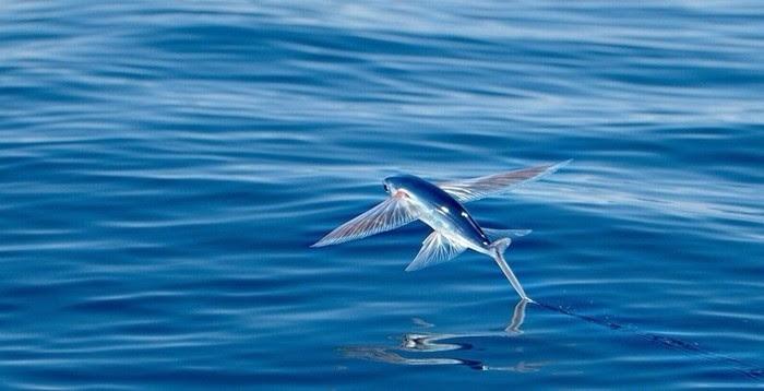 Nếu gặp may bạn có thể bắt gặp cá chuồn bay trên đường du lịch đảo Lý Sơn