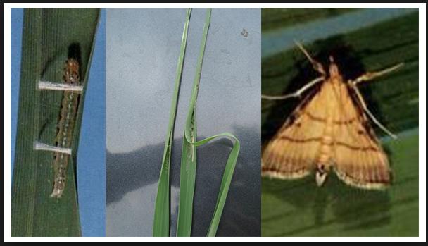 Pengendalian Hama Ulat Pelipat Daun Padi Dengan Insektisida Yang Paling Ampuh Kliktani Com