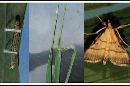 Pengendalian hama ulat pelipat daun padi dengan insektisida yang paling ampuh