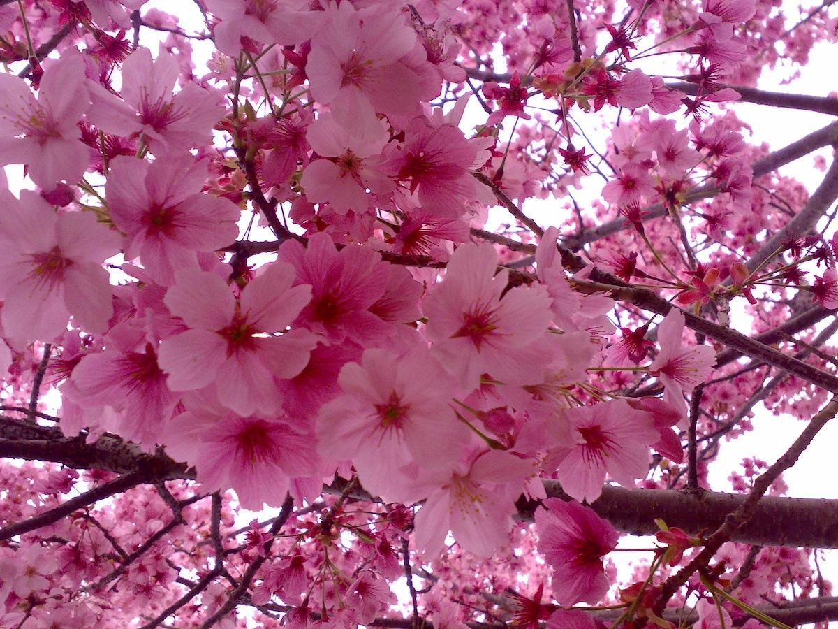 pz c fiori di ciliegio